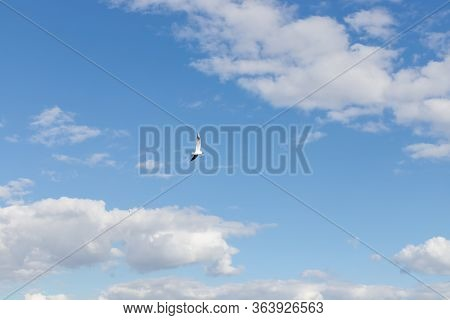 Seagull Flying On Clear Blue Sky And Sun Light.flying In Sky. A Flock Of Seagulls Soaring In The Blu