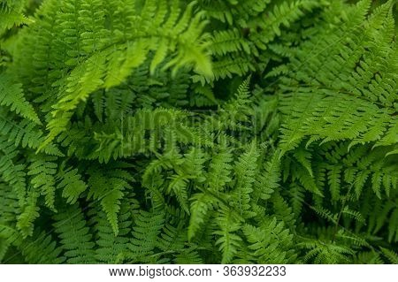 Lush Green Fully Opened Fronds Of A Fern Plant Growing In The Woodlands Covering The Ground In A Sha