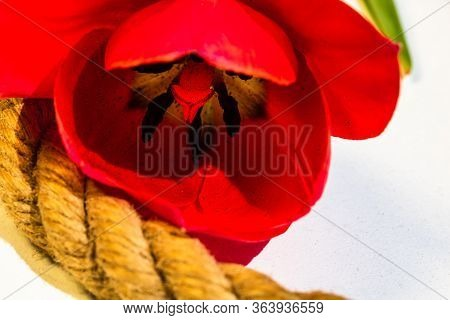 Macro Shot Of A Red Tulip Isolated, Tulip Pistil Close Up. Details Of A Red Tulip Flower.