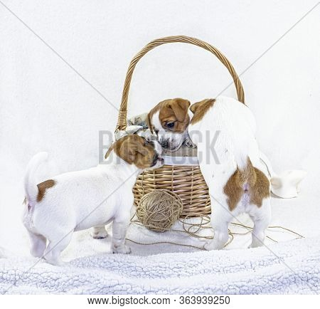 cute Three Puppies Bitches Jack Russell Terrier Play Near Easter Basket On A White Background. Gree
