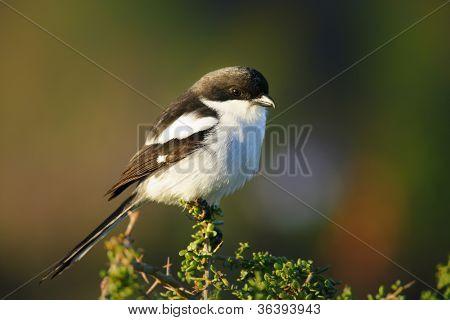 Common Fiscal (Lanius collaris) Addo National Park - South Africa