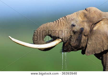 Elephant drinking water close-up - Addo National Park