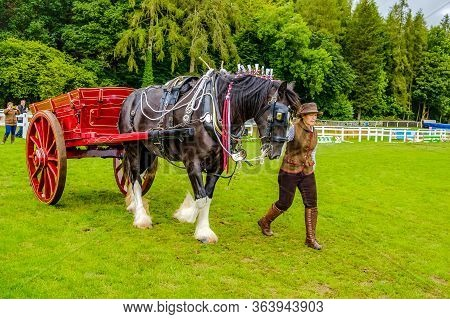 England Cartmel August 3rd 2016 Shire Horses Showing In Ring At Carmel Show