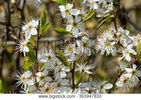 Sloe Blossom (prunus Spinosa)