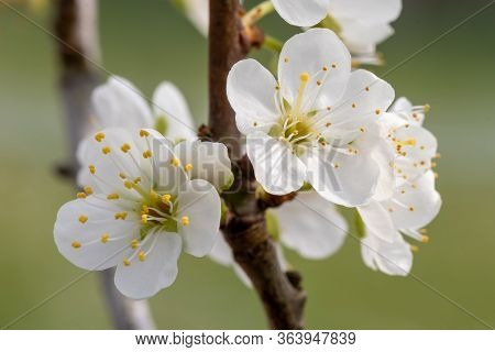 Macro Shot Of Sloe (prunus Spinosa) Blossom