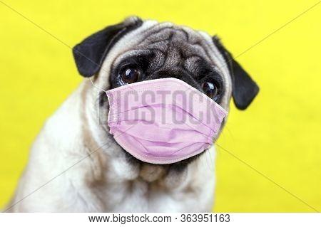 Pug Dog With Medical Mask And Sad Big Eyes. Quarantine And Isolation During Coronavirus