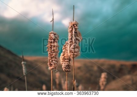Landscape With Old And Dry Reeds. Old Reeds.