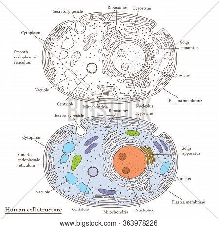 Vector Medicinal Illustration With Flat Human Cell Structure