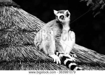 Ring-tailed Lemur - Endemic Animal Of Madagascar. Sitting On The Roof
