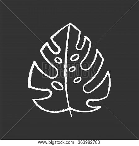 Monstera Leaf Chalk Icon. Evergreen Tropical Forest Vines. Swiss Cheese Plant. Indonesian Islands Na