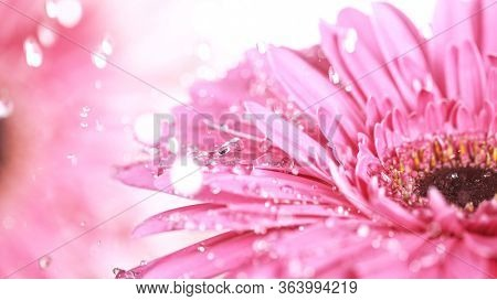 Beautiful pink gerbera bloom with water drops. Freeze motion.