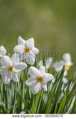 Daffodil Flower Pheasant's Eye, Poeticus Narcissus, A Classic White Flower With Short And Small Yell
