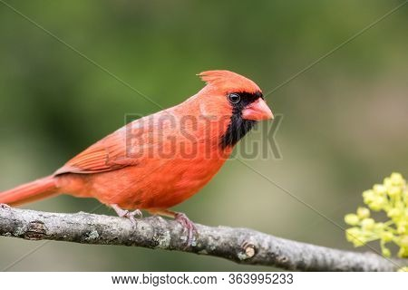 Northern Cardinal Male, Cardinalis Cardinalis, Perched On Aged Branch Closeup