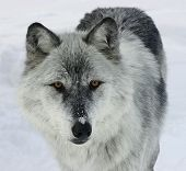 this is a gray wolf looking at you. poster