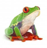 red eyed treefrog macro isolated exotic frog curious animal bright vivid colors poster