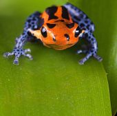 Frog with red lines and blue legs, poison dart frog of amazon rain forest in Peru, poisonous animal of tropical rainforest, pet in terrarium poster