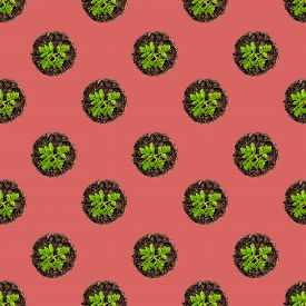 Seamless Pattern.tomato Seedlings On White Background. Young Tomatoes Grow In A Tray Top View