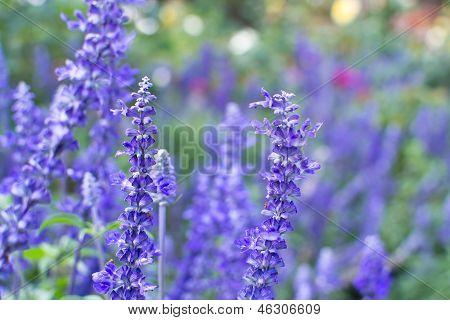 A Close-up Of Blue Salvia Flower.
