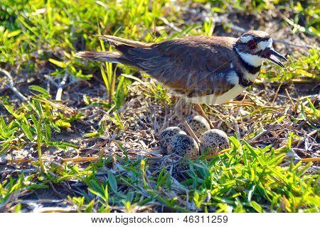 Killdeer Plover on Nest