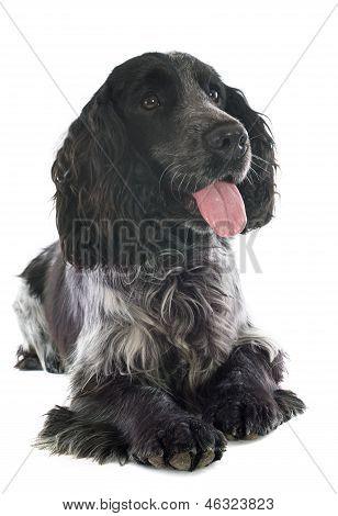 portrait of a purebred english cocker in a studio poster