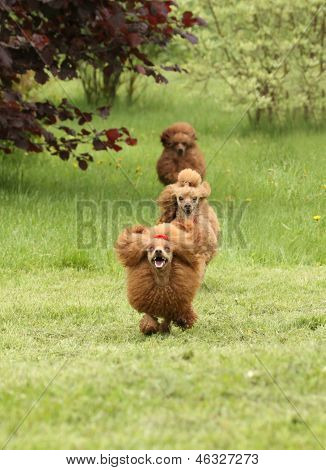 Happy Poodle Running Around Each Other