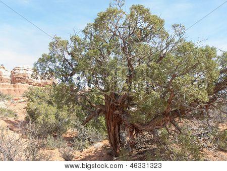 Tough Old Utah Juniper