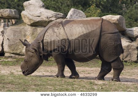 Wet rhinoceros in the Warsaw Zoological Garden in Poland poster