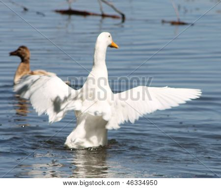 Beautifu Pekin Duck
