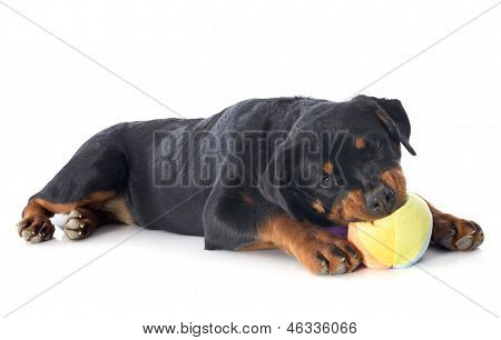 Playing Puppy Rottweiler