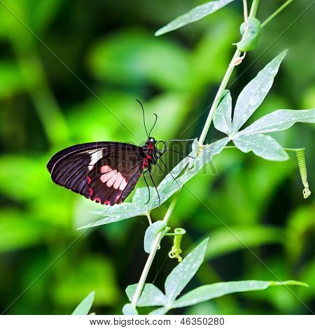Closeup of a female Transandean Cattleheart, Parides iphidamas, butterfly on a passion fruit vine. A tailless Swallowtail butterfly native to Central and South America
