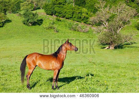 red Arab horse costs on a green meadow