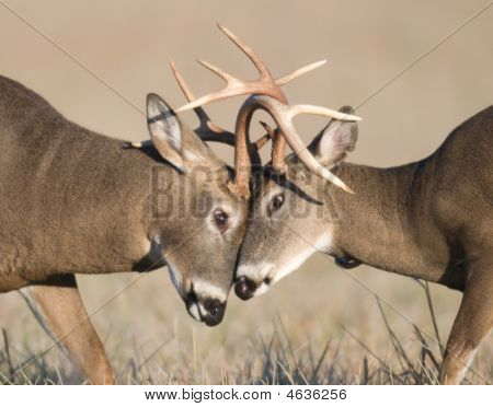 Whitetail Deer Battling