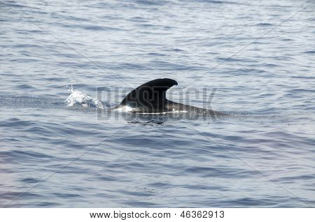 Black Pilot Whale Coming Out of the Water poster