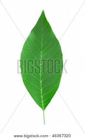 Walnut leaf.