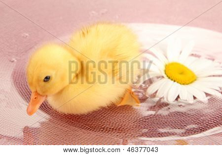 Floating cute duckling close up poster