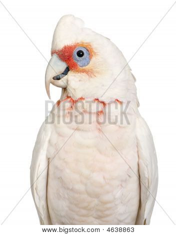 Long-billed Corella - Cacatua tenuirostris in front of a white background. He look Similar in appearance to the Little Corella and Sulphur-crested Cockatoo poster
