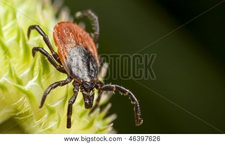 Red Backed Tick On A Plant