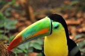 a rainbow toucan (ramphastos sulphuratas) and his colorful bill poster