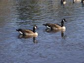 A pair of Canadian Geese swimming in the river poster