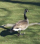 A Canadian Goose strolling across the grass poster