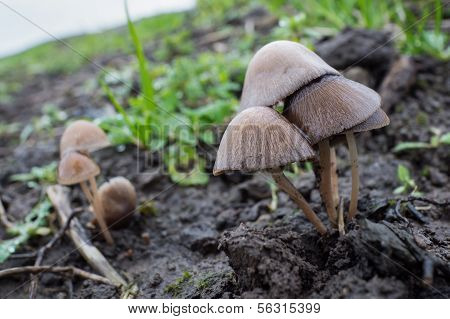 Mycena Galericulata Or Common Bonnet Mushroom