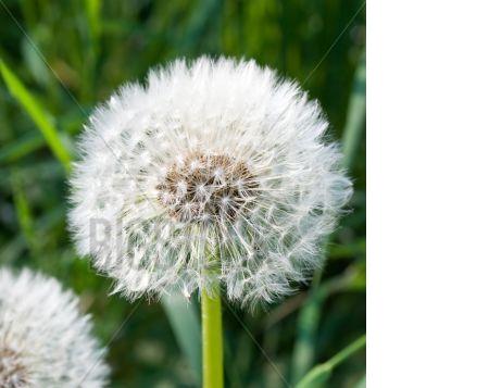 Dandelion, Spring Flower