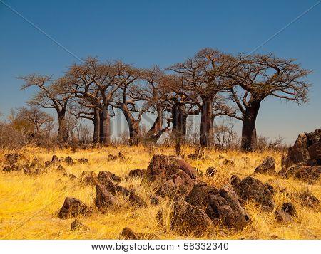 Baobab Paradise Near Savuti