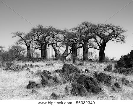 Baobab Paradise Near Savuti In Black And White