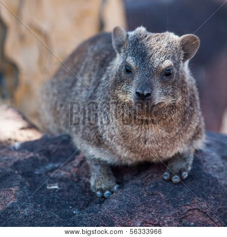 Dassie Rat (petromus Typicus)