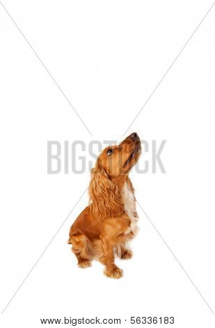 Cute brown cocker spaniel with empty space poster