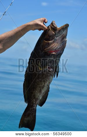 Black grouper fish