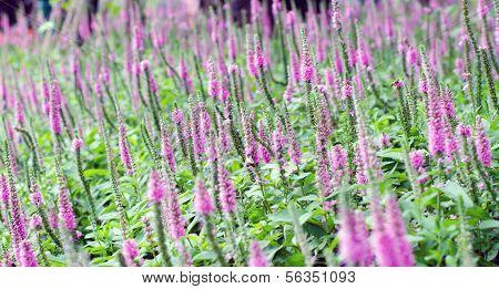 Purple Spiked Speedwell And Blurred Backyard Lush Green Grass