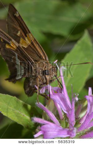 Gray Hairstreak Butterfly (strymon Melinus)
