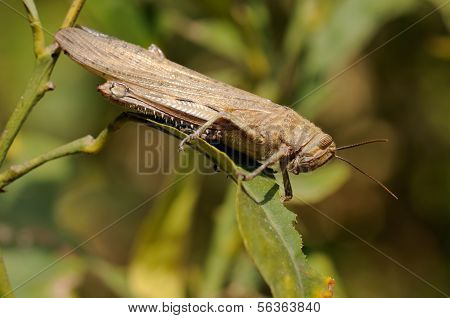 Macro of a Egyptian grasshopper (Anacridium aegyptium) on a leaf. poster